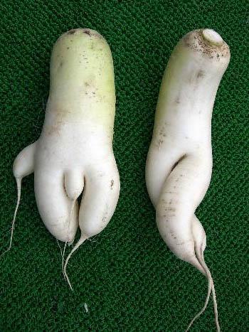 Согласно заявлениями «Asahi Shinbun», фермеры в префектуре Акита обнаружили пару дайконов, которые похожи на фигуры мужчины и женщины.
