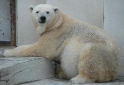 Ожидаемые роды белой медведицы из японского зоопарка оказались ложной тревогой