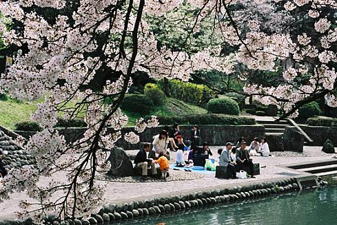 Почему японцы любят сакуру?