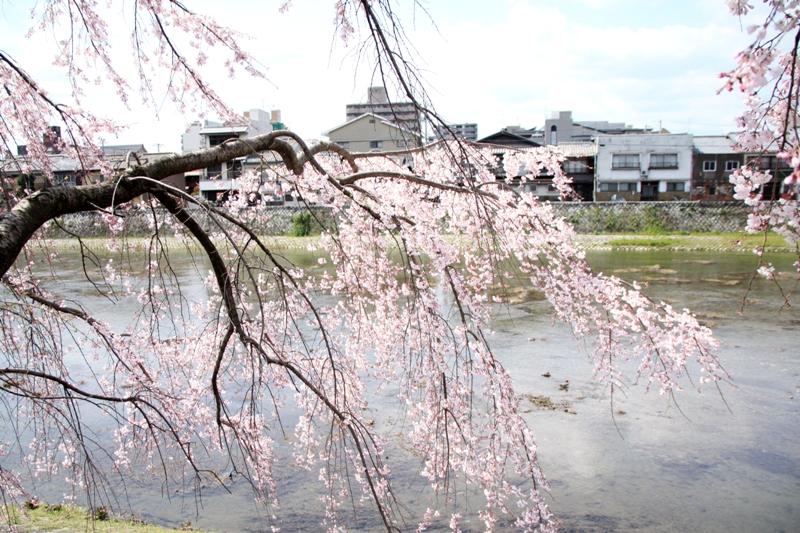 Хэйан сидарэ-дзакура