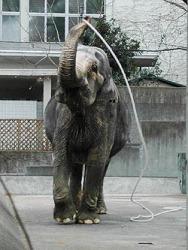 Слониха Ханако играет с верёвкой в зоопарке Инокасира