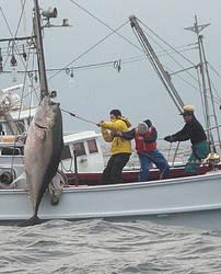 Актёр Хироки Мацуката (справа) вытаскивает 325-килограммового голубого тунца. 22-е ноября 2009 г.