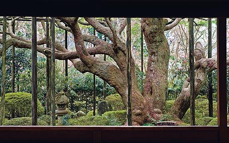 700-летняя белая сосна в храме Хосэн-ин поддерживается шестами. В течение столетий из ветвей дерева удалось создать полог, накрывающий весь сад