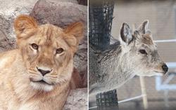 Гэнки (слева) – лев, оказавшийся на деле львицей, и Аюми (справа), олениха, которая на деле оказалась оленем