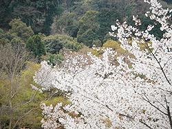 Розовый цвет вишни ярко контрастирует с зеленью новых листков