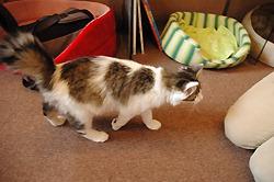 Тяко, кошка с пятном в виде сердечка, в кафе Neko Cafe Arrows