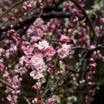 japan_spring_flowers_03