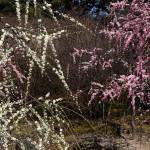 japan_spring_flowers_04
