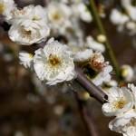 japan_spring_flowers_05
