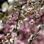 japan_spring_flowers_06