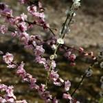 japan_spring_flowers_07