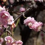 japan_spring_flowers_08