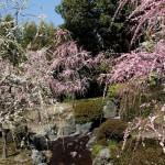 japan_spring_flowers_09
