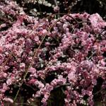 japan_spring_flowers_10