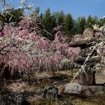 japan_spring_flowers_11