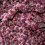 japan_spring_flowers_14