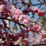 japan_spring_flowers_15
