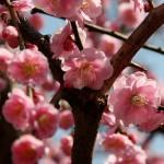 japan_spring_flowers_17