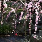 japan_spring_flowers_18