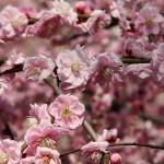 japan_spring_flowers_19