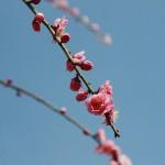 japan_spring_flowers_20