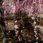 japan_spring_flowers_22