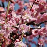 japan_spring_flowers_23