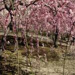 japan_spring_flowers_24
