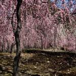 japan_spring_flowers_25