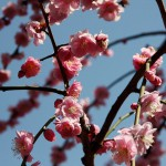 japan_spring_flowers_26