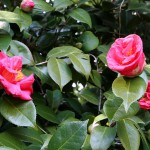 japan_spring_flowers_28
