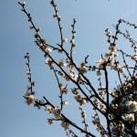 japan_spring_flowers_35