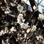 japan_spring_flowers_36