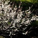japan_spring_flowers_38