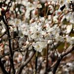 japan_spring_flowers_39