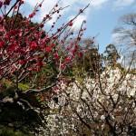japan_spring_flowers_40