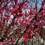 japan_spring_flowers_41