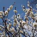 japan_spring_flowers_43