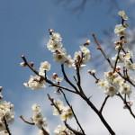 japan_spring_flowers_44