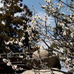 japan_spring_flowers_45