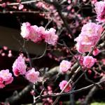 japan_spring_flowers_47