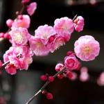 japan_spring_flowers_48