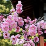 japan_spring_flowers_49