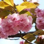 """Вот розовая """"ботан-сакура"""". В парке Умэкодзи целая аллея засажена разными видами, отличающимися цветом и формой лепестков и листиков."""