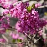 Неизвестные мне цветочки. Обычно кусты или низкие деревца. Тонкие ломкие веточки, густо облепленные мелкими сиреневыми цветочками продолговатой формы.