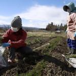 Сумико Мацуно (слева) с подругой собирает морковь на своей ферме. Они собираются съесть её сами, т.к. Мацуно боится, что никто больше не купит у неё продукты из-за опасений по поводу радиации. 24-е марта 2011 г.