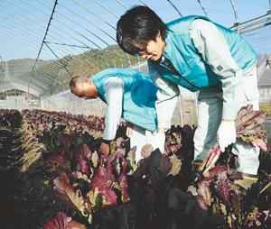Хироки Ёсидзава (справа) трудится на одном из полей в г. Кока, префектура Сига. 24-е ноября 2011 г.