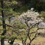 japan_plum_trees_kyoto_02