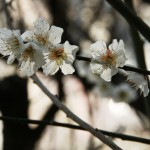 japan_plum_trees_kyoto_04