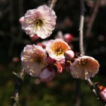 japan_plum_trees_kyoto_07